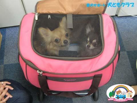 犬ともフレンズチワワのマシューくん2017082503.jpg