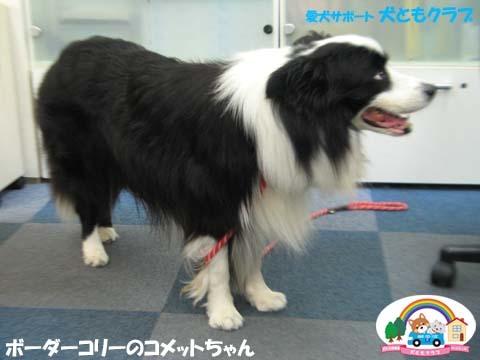 犬ともフレンズボーダーコリーのコメットちゃん2017090603.jpg