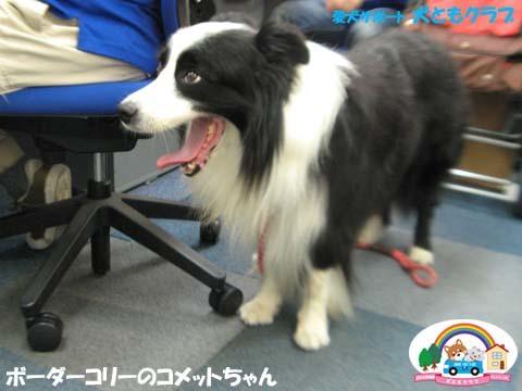 犬ともフレンズボーダーコリーのコメットちゃん2017090604.jpg