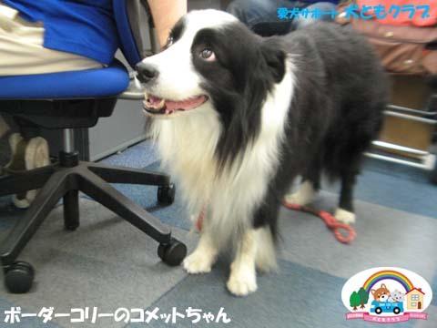 犬ともフレンズボーダーコリーのコメットちゃん2017090605.jpg