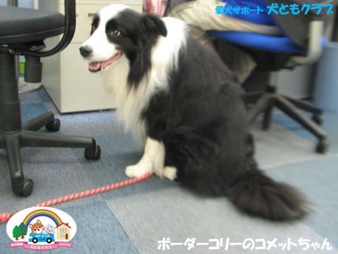 犬ともフレンズボーダーコリーのコメットちゃん2017090606.jpg