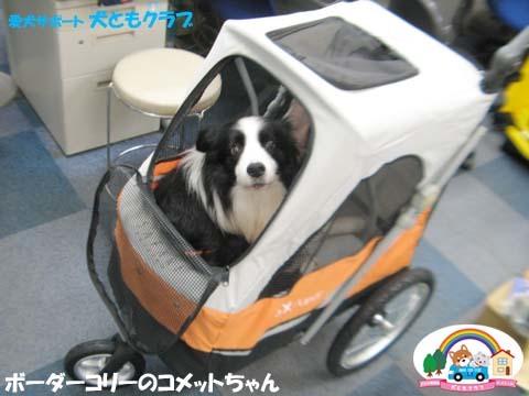 犬ともフレンズボーダーコリーのコメットちゃん2017101301.jpg