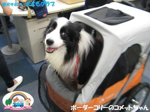 犬ともフレンズボーダーコリーのコメットちゃん2017101302.jpg