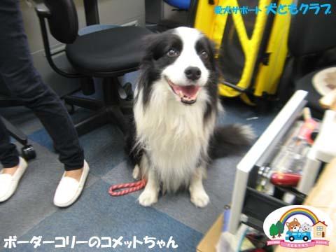 犬ともフレンズボーダーコリーのコメットちゃん2017101303.jpg
