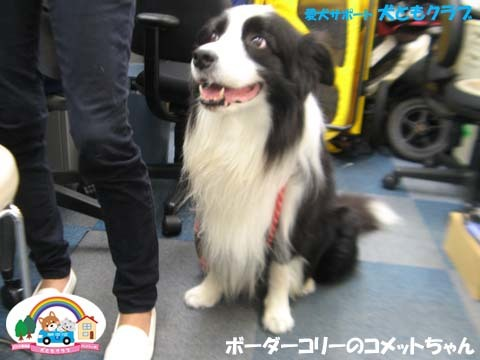 犬ともフレンズボーダーコリーのコメットちゃん2017101305.jpg
