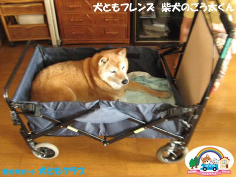 犬ともフレンド柴犬のごう太くん2017061502.jpg