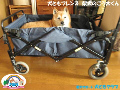 犬ともフレンド柴犬のごう太くん2017061503.jpg