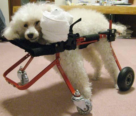 犬用車いすトイプードルの詩音ちゃん用2012100401.jpg