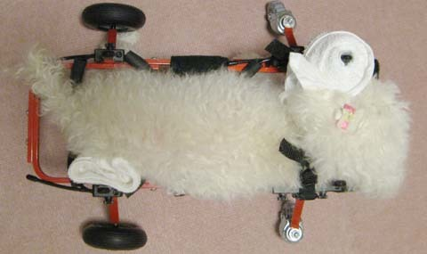 犬用車いすトイプードルの詩音ちゃん用2012100404.jpg