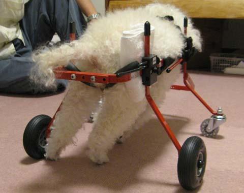 犬用車いすトイプードルの詩音ちゃん用2012100405.jpg
