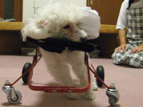 犬用車いすトイプードルの詩音ちゃん用2012100406.jpg