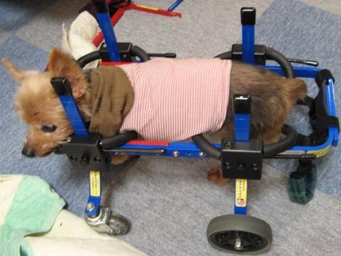 犬用車いすヨーキーのチョコくん2012091202.jpg