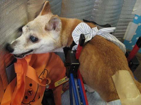 犬用車いす柴犬ラブちゃん2012091301.jpg