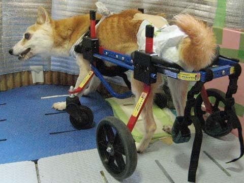 犬用車いす柴犬ラブちゃん2012091303.jpg