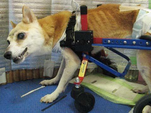 犬用車いす柴犬ラブちゃん2012091304.jpg