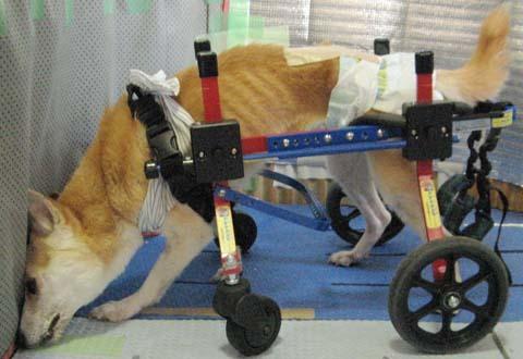 犬用車いす柴犬ラブちゃん2012091306.jpg