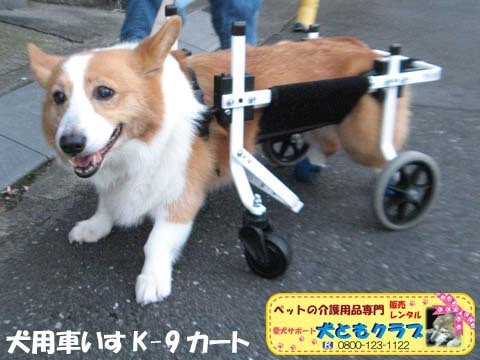 犬用車椅子コーギーのさくらちゃん2017070601.jpg