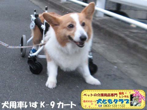 犬用車椅子コーギーのさくらちゃん2017070602.jpg