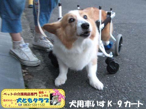 犬用車椅子コーギーのさくらちゃん2017070603.jpg