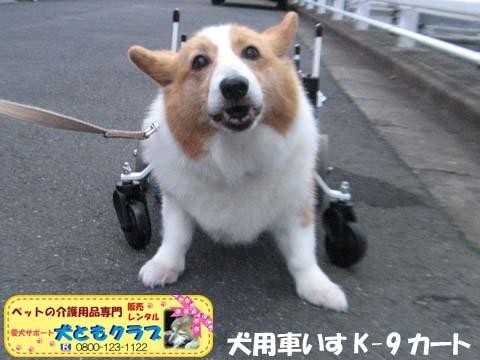 犬用車椅子コーギーのさくらちゃん2017070605.jpg