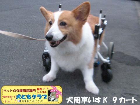 犬用車椅子コーギーのさくらちゃん2017070606.jpg
