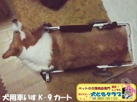 犬用車椅子コーギーのさくらちゃん2018011603.jpg
