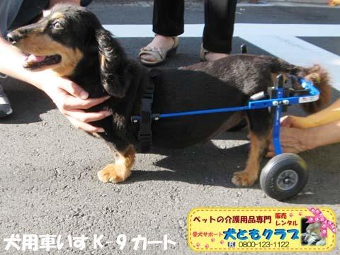 犬用車椅子ミニチュアダックスフントの卓くん用2017090206.jpg