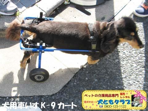 犬用車椅子ミニチュアダックスフントの卓くん用2017090208.jpg