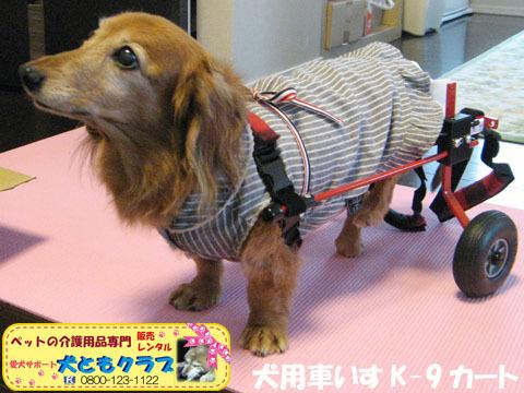 犬用車椅子K-9カート ミニチュアダックスフントのルビアーニちゃん2015041901.jpg