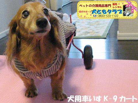 犬用車椅子K-9カート ミニチュアダックスフントのルビアーニちゃん2015041902.jpg