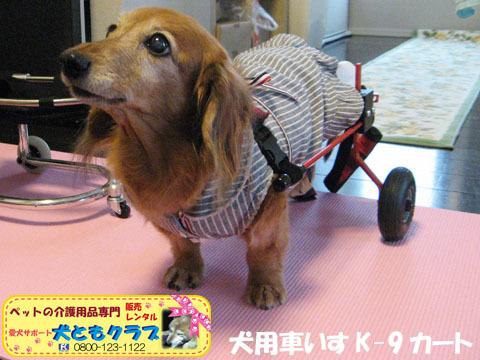 犬用車椅子K-9カート ミニチュアダックスフントのルビアーニちゃん2015041903.jpg