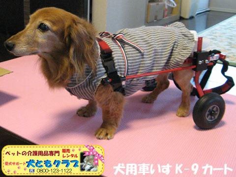 犬用車椅子K-9カート ミニチュアダックスフントのルビアーニちゃん2015041904.jpg