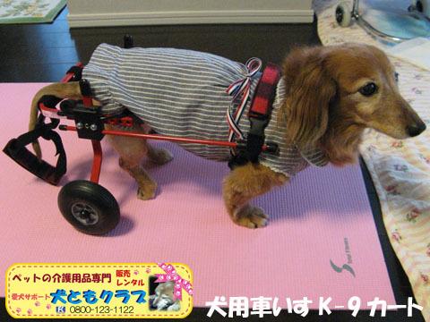犬用車椅子K-9カート ミニチュアダックスフントのルビアーニちゃん2015041905.jpg