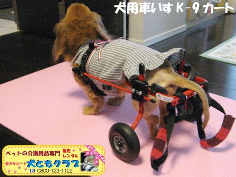 犬用車椅子K-9カート ミニチュアダックスフントのルビアーニちゃん2015041906.jpg