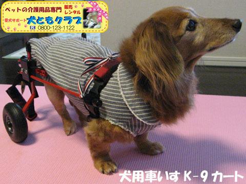 犬用車椅子K-9カート ミニチュアダックスフントのルビアーニちゃん2015041907.jpg