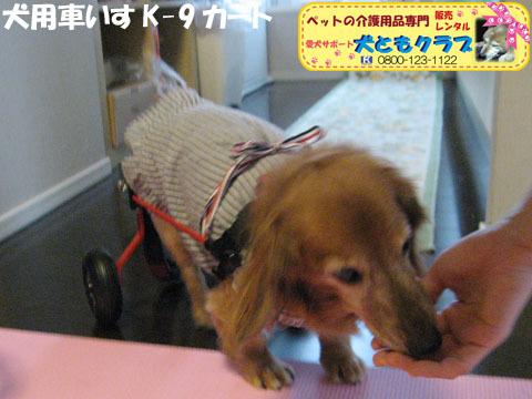 犬用車椅子K-9カート ミニチュアダックスフントのルビアーニちゃん2015041908.jpg