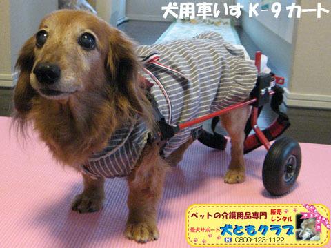 犬用車椅子K-9カート ミニチュアダックスフントのルビアーニちゃん2015041909.jpg
