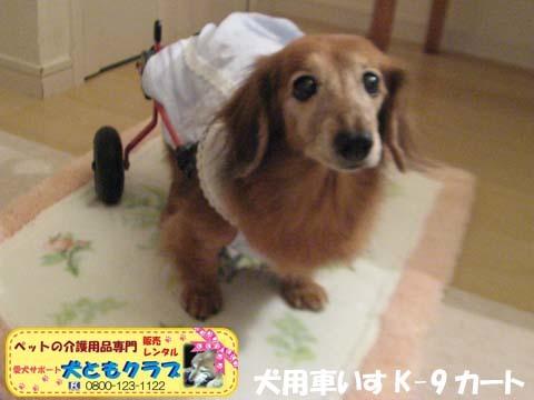 犬用車椅子K-9カート ミニチュアダックスフントのルビアーニちゃん2017090402.jpg