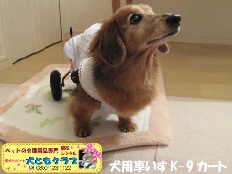 犬用車椅子K-9カート ミニチュアダックスフントのルビアーニちゃん2017090403.jpg