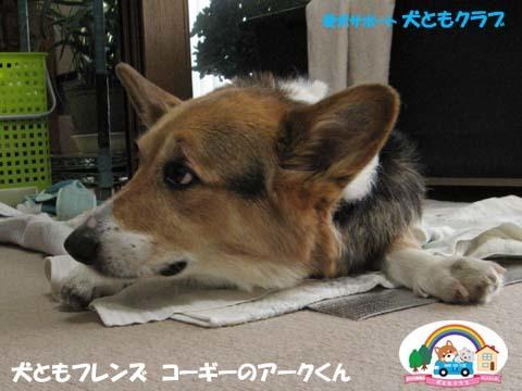 犬用車椅子K-9カートコーギーのアークくん2015013101.jpg