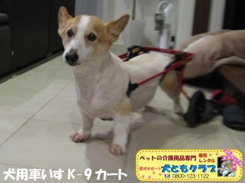 犬用車椅子K9Cartsコーギーの玄太くん用2017101301.jpg