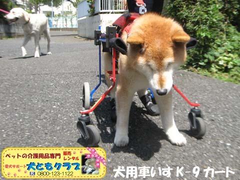 犬用車椅子K9Carts柴犬のチャチャちゃん2017042502.jpg