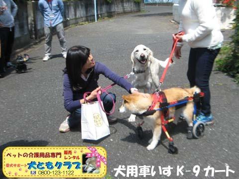 犬用車椅子K9Carts柴犬のチャチャちゃん2017042505.jpg