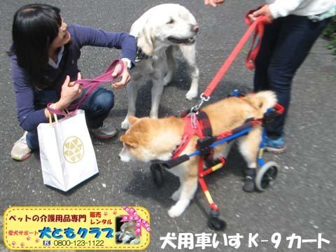 犬用車椅子K9Carts柴犬のチャチャちゃん2017042506.jpg