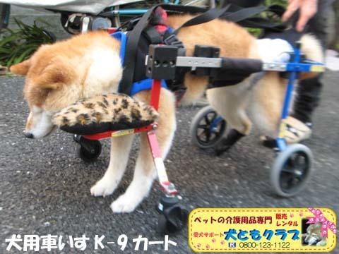 犬用車椅子K9Carts柴犬のチャチャちゃん2017102601.jpg