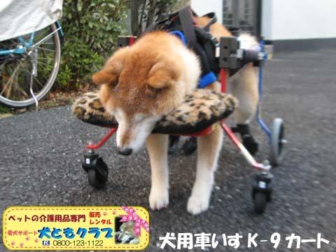 犬用車椅子K9Carts柴犬のチャチャちゃん2017102602.jpg