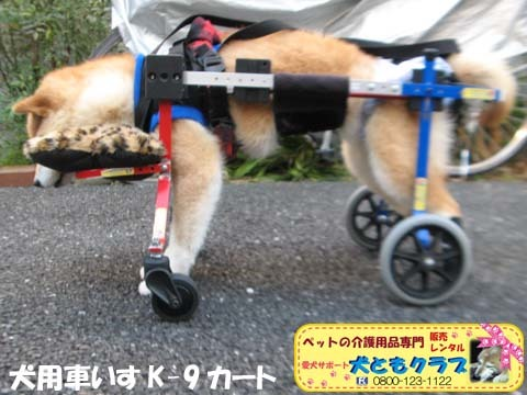 犬用車椅子K9Carts柴犬のチャチャちゃん2017102603.jpg