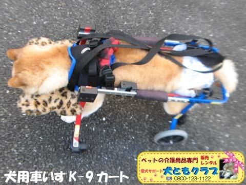 犬用車椅子K9Carts柴犬のチャチャちゃん2017102604.jpg