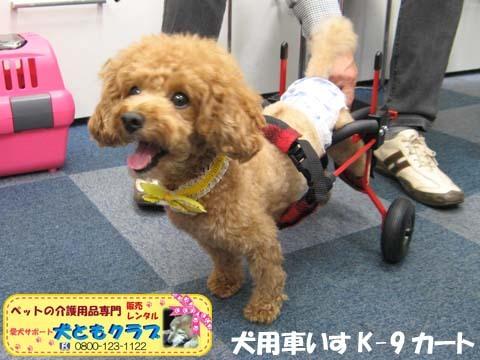 犬用車椅子K9カート トイプードルのあいちゃん用2015100101.jpg