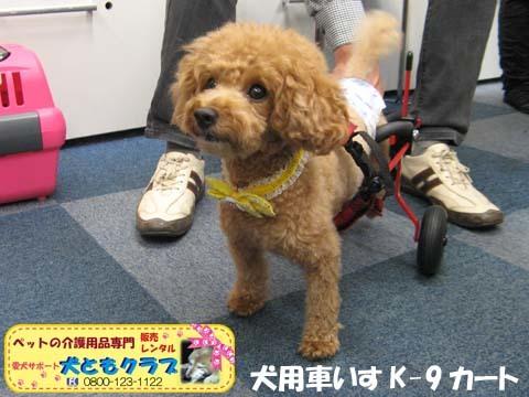 犬用車椅子K9カート トイプードルのあいちゃん用2015100102.jpg